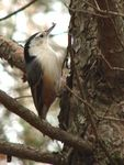 Title: White Breasted Nuthatch