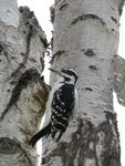 Title: Hairy Woodpecker