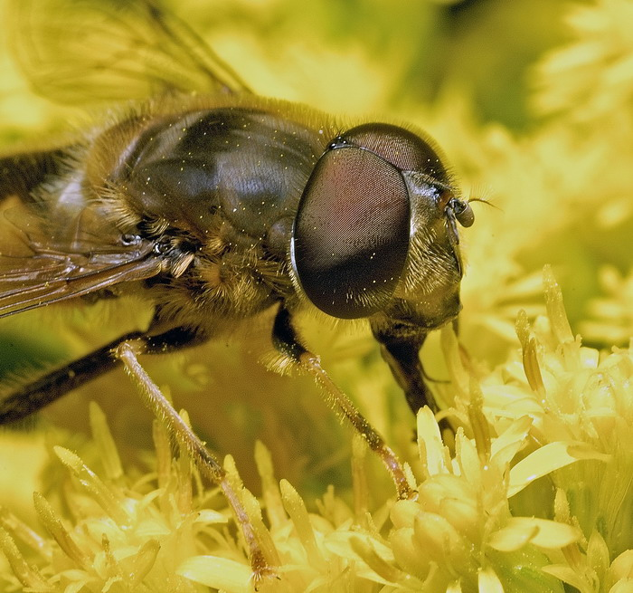fly and solidago