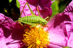 Title: Speckled Bush Cricket
