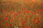 Title: Poppies at sunsetCanon 300v