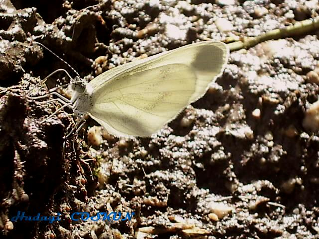 Butterfly from gerede