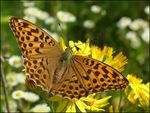 Title: Silver-washed Fritillary,female