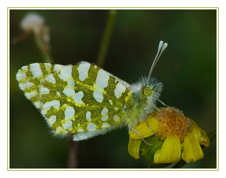 Orange Tip (Female)-I