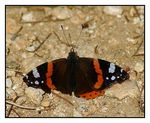 Title: Red Admiral-I