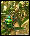 Title: Green Metallic Bug