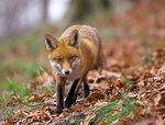 Title: Red Fox ..hunterCanon 1D Mark II