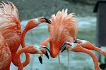 Title: fighting flamingos
