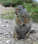 Title: Fat Squirrel