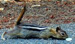 Title: Golden-Mantled Ground Squirrel