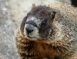 Title: Yellow Bellied Marmot