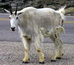 Title: Curious Mountain Goat