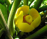 Title: Yellow Waterlily