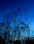 Title: Blue Trees