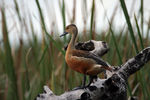 Title: Lesser Whisling Teal