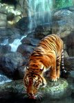 Title: Tiger Drinking
