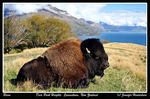 Title: Bison Enjoying the View