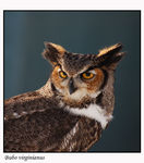 Title: The Great Horned OwlNikon D50