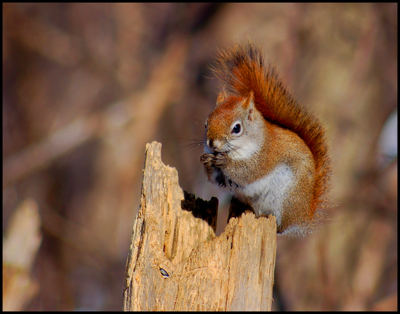 The North American red squirrel