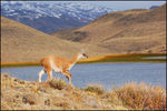 Title: Baby Guanaco