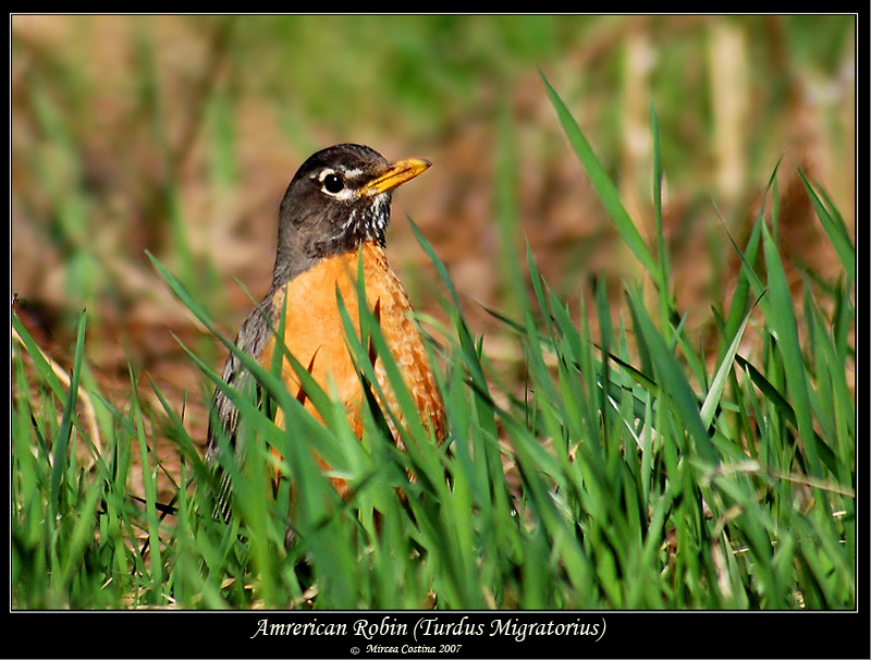 Robin and grass