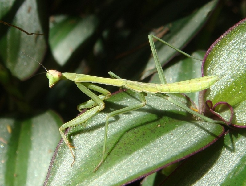 Green Baby Mantis