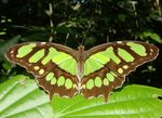 Title: Malachite Butterfly to World Environment