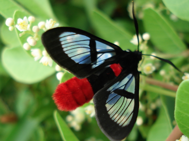 Black and Red-bodied Wasp Moth