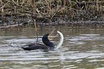 Title: Cormorant trying to eat