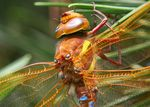 Title: Brown Hawker
