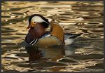 Title: The Mandarin Duck