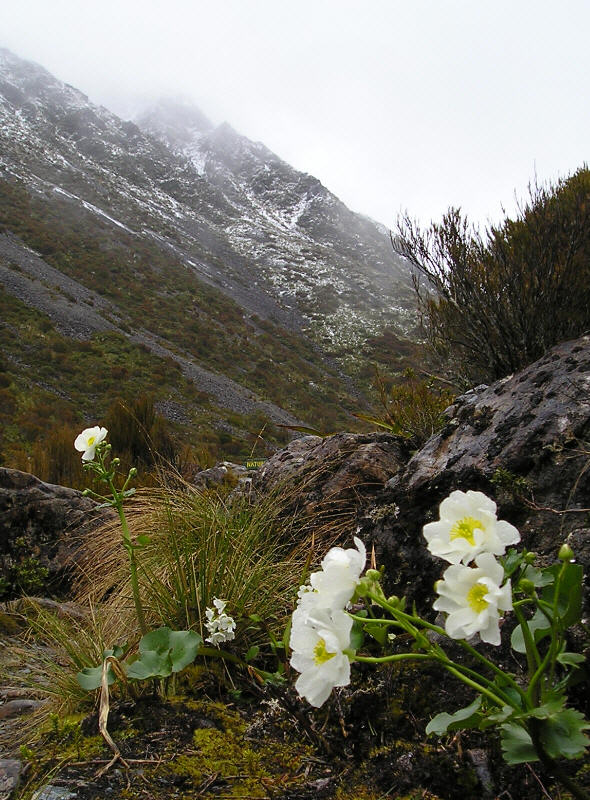 Arthurs Pass Mount Cook Lily