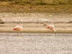 Title: Chilean Flamingos