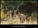 Title: Deer of Ranthambore