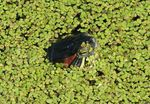 Title: Red eared Terrapin