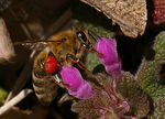 Title: Bee with red ring