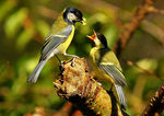 Title: Great Tit and fledgeling