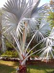 Title: Fan Palm Tree