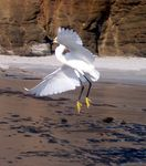 Title: Flying Snowy Egret
