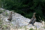 Title: Capercaillie females