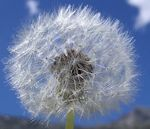 Title: Wildflowers - Dandelion Clock