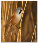 Title: Bearded reedling Camera: Canon EOS 40D