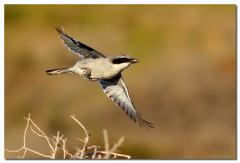 Great grey shrike in action