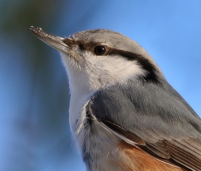 portrait on a nuthatch