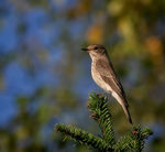 Title: Spotted flycatcher Camera: Canon EOS 30d