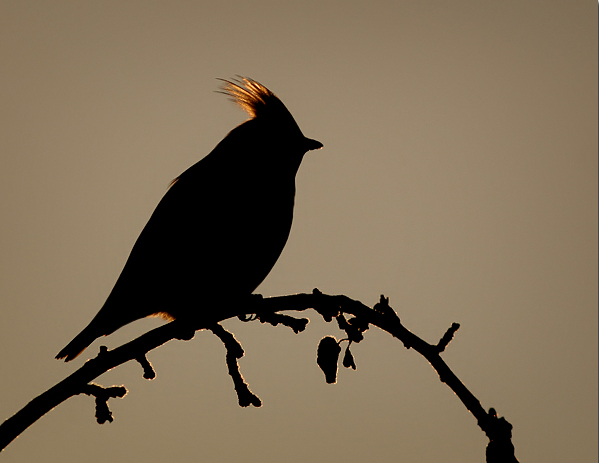 Waxwing in silhouette
