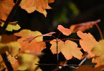 Title: Acer Opalus
