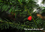 Title: Taxus baccata
