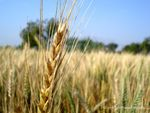 Title: Real Gold - Wheat Crop