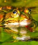 Title: European common frog
